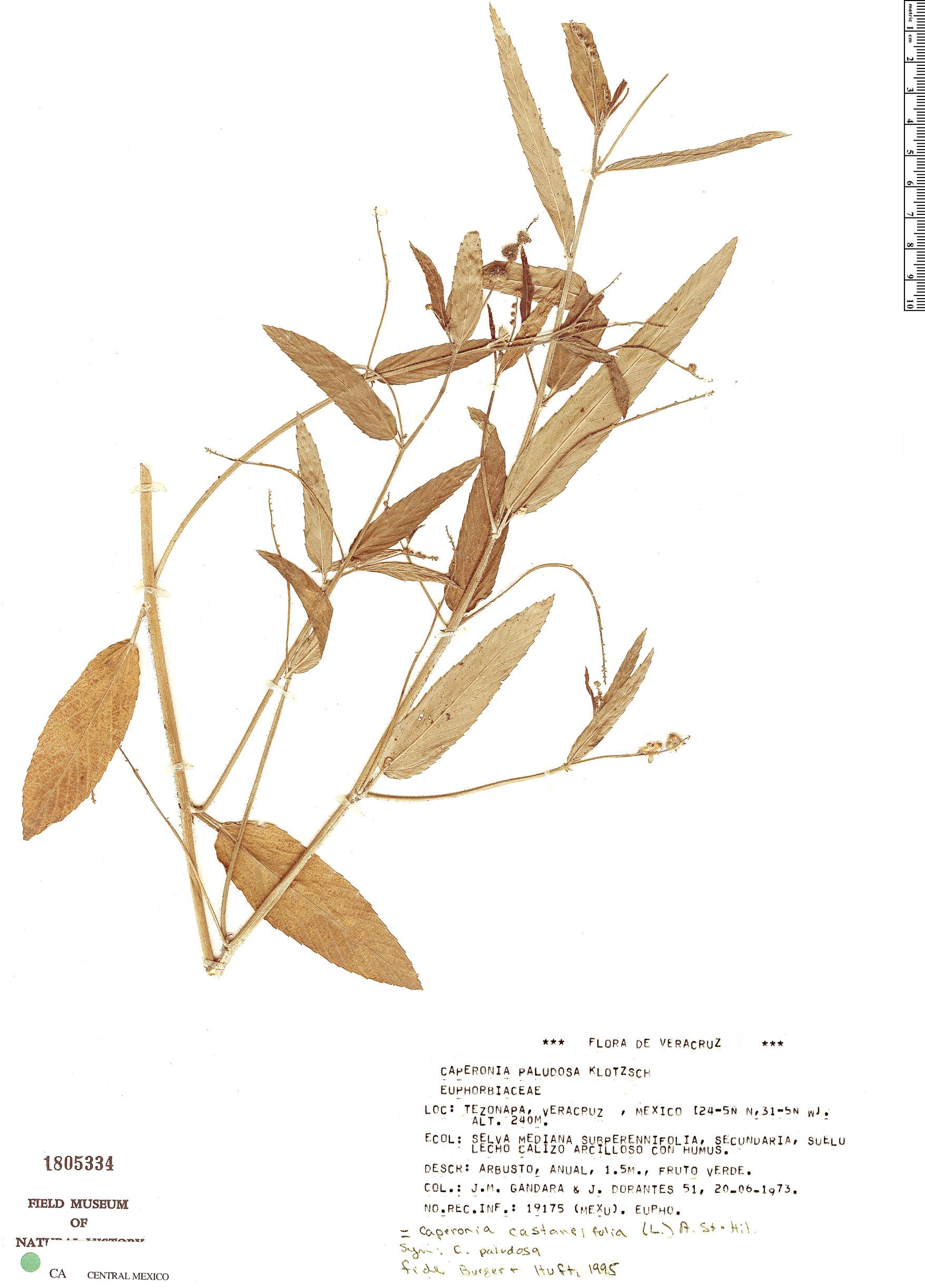 Specimen: Caperonia castaneifolia