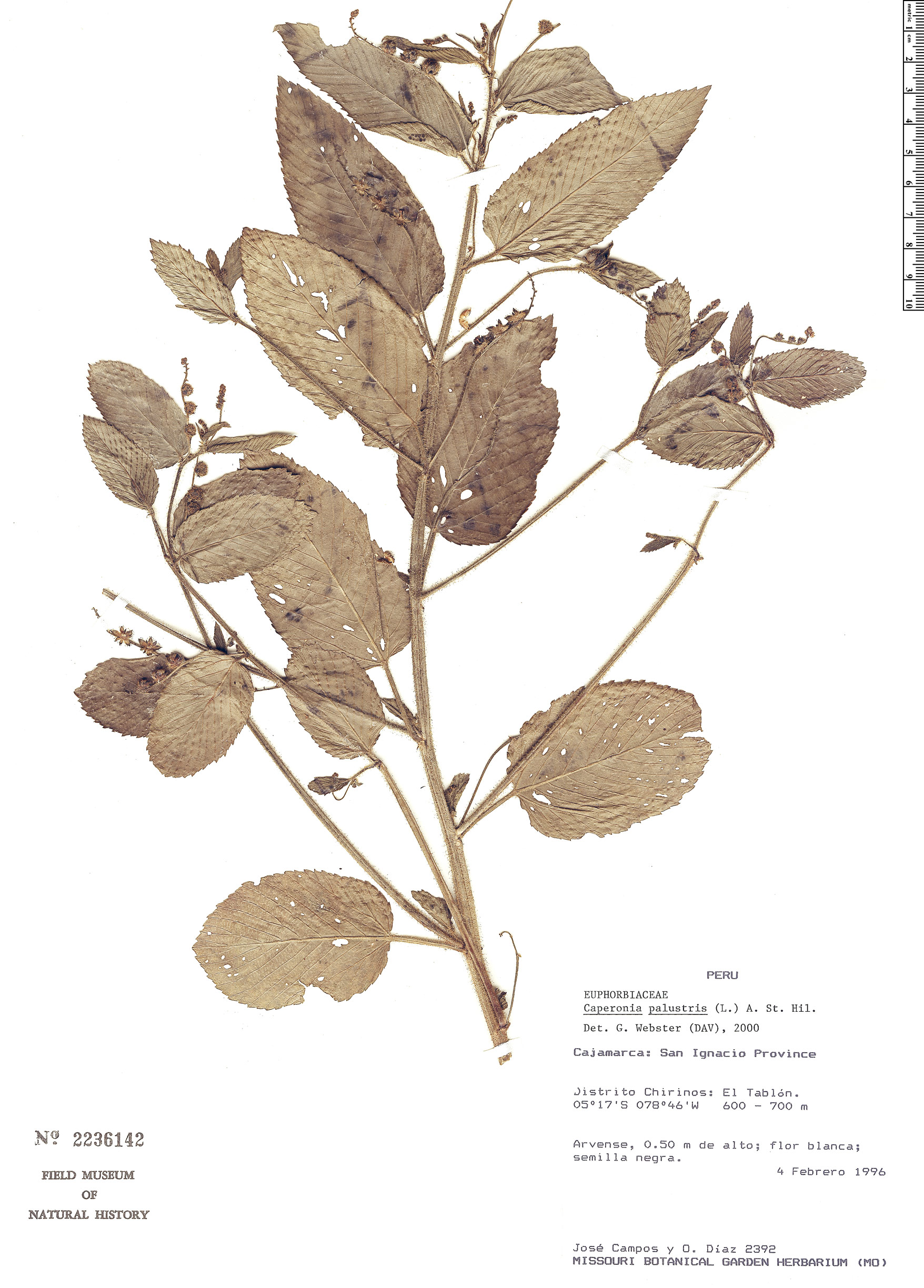 Specimen: Caperonia palustris