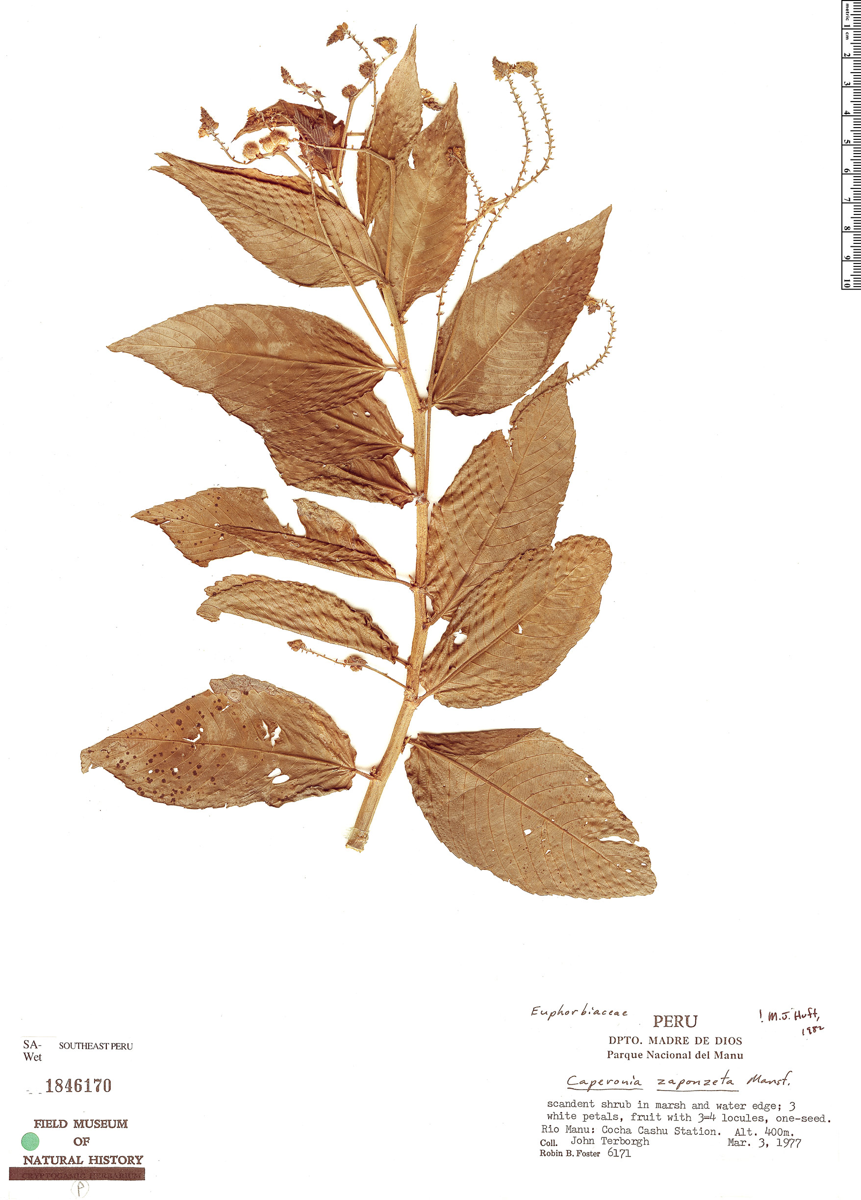 Specimen: Caperonia zaponzeta