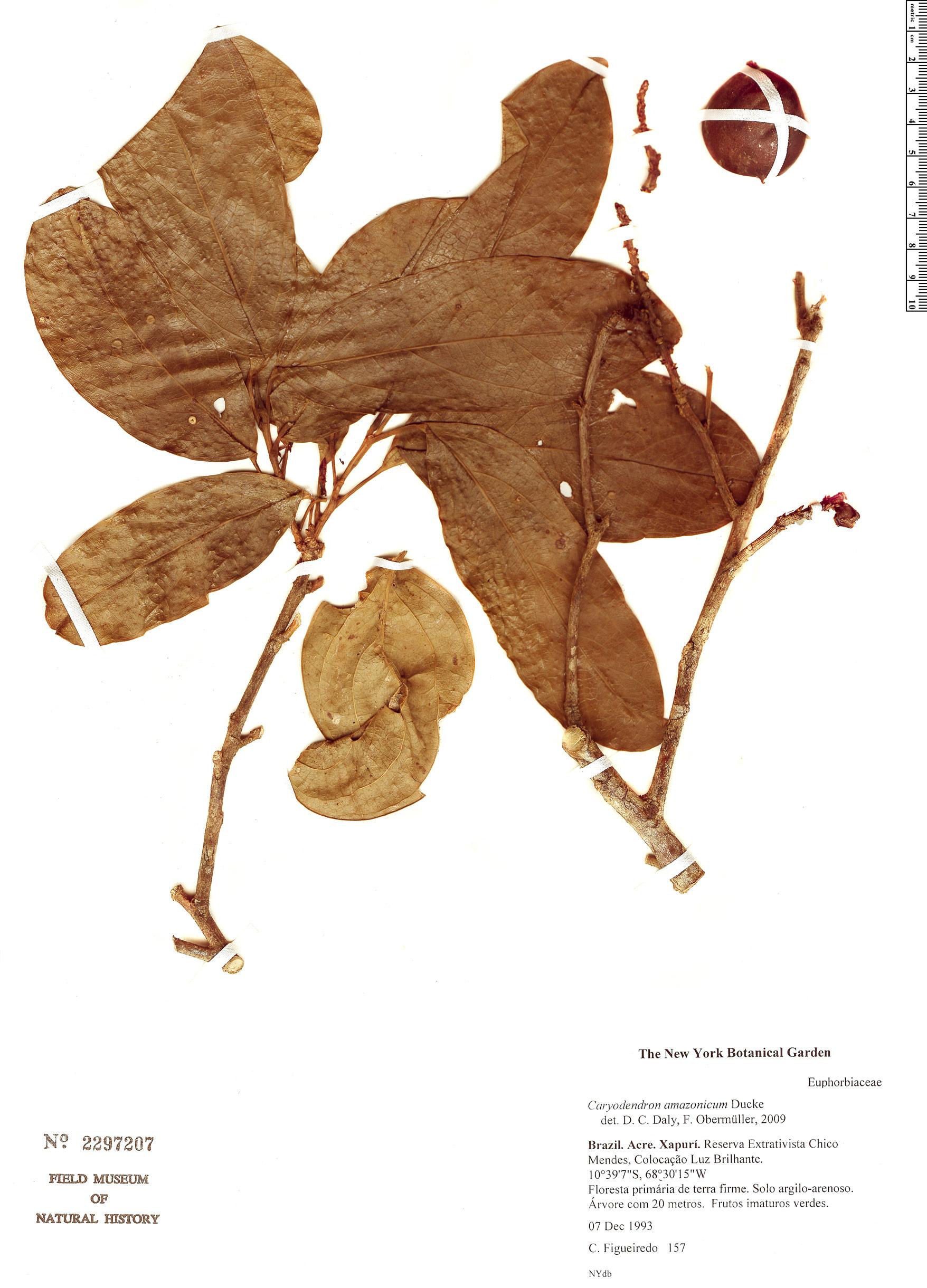 Specimen: Caryodendron amazonicum