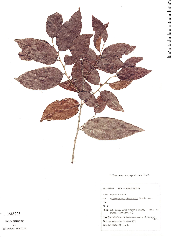Specimen: Chaetocarpus myrsinites