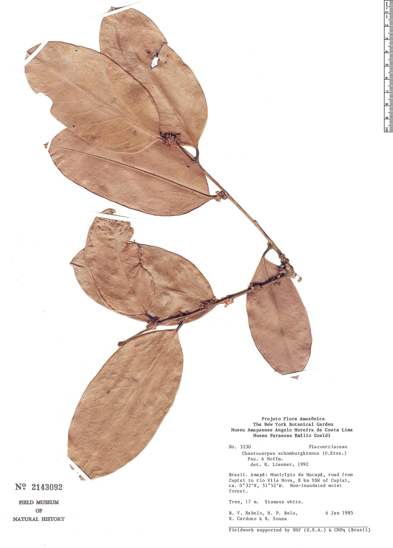 Specimen: Chaetocarpus schomburgkianus