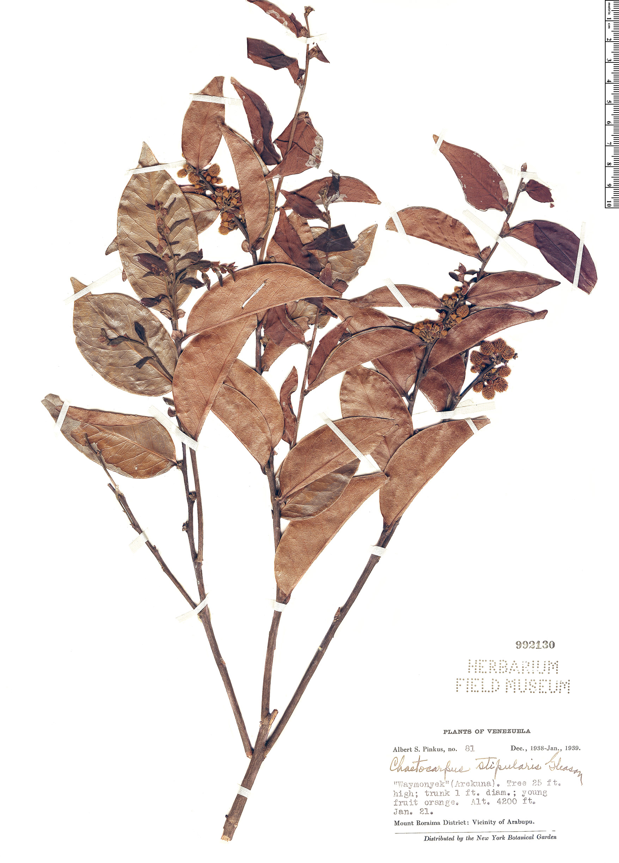Specimen: Chaetocarpus stipularis