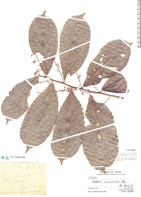 Specimen: Cleidion amazonicum