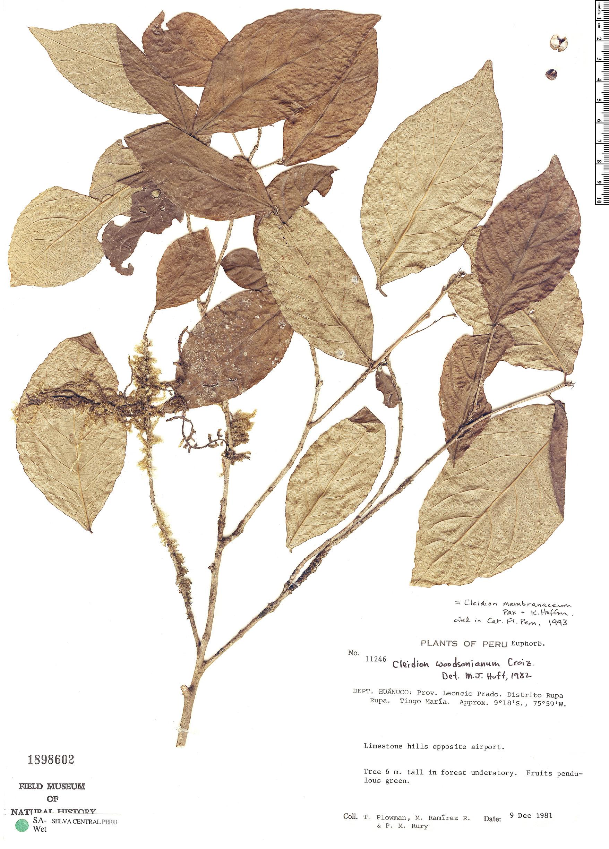 Specimen: Cleidion membranaceum