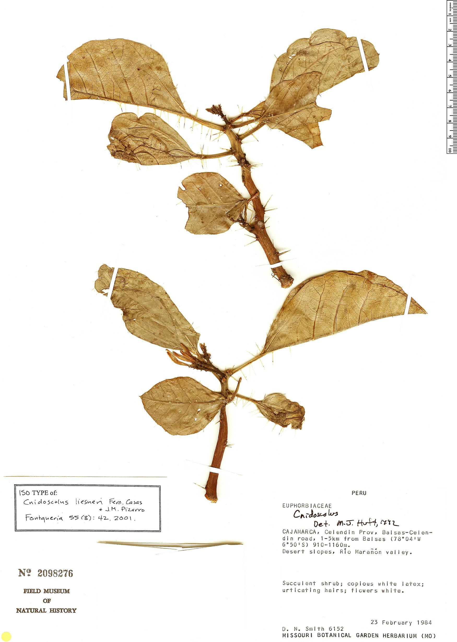 Specimen: Cnidoscolus liesneri