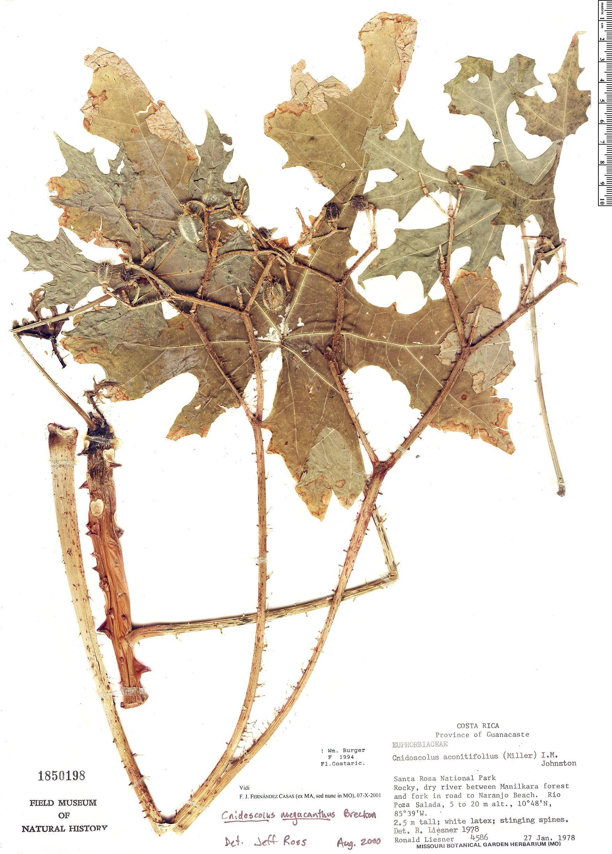 Specimen: Cnidoscolus megacanthus