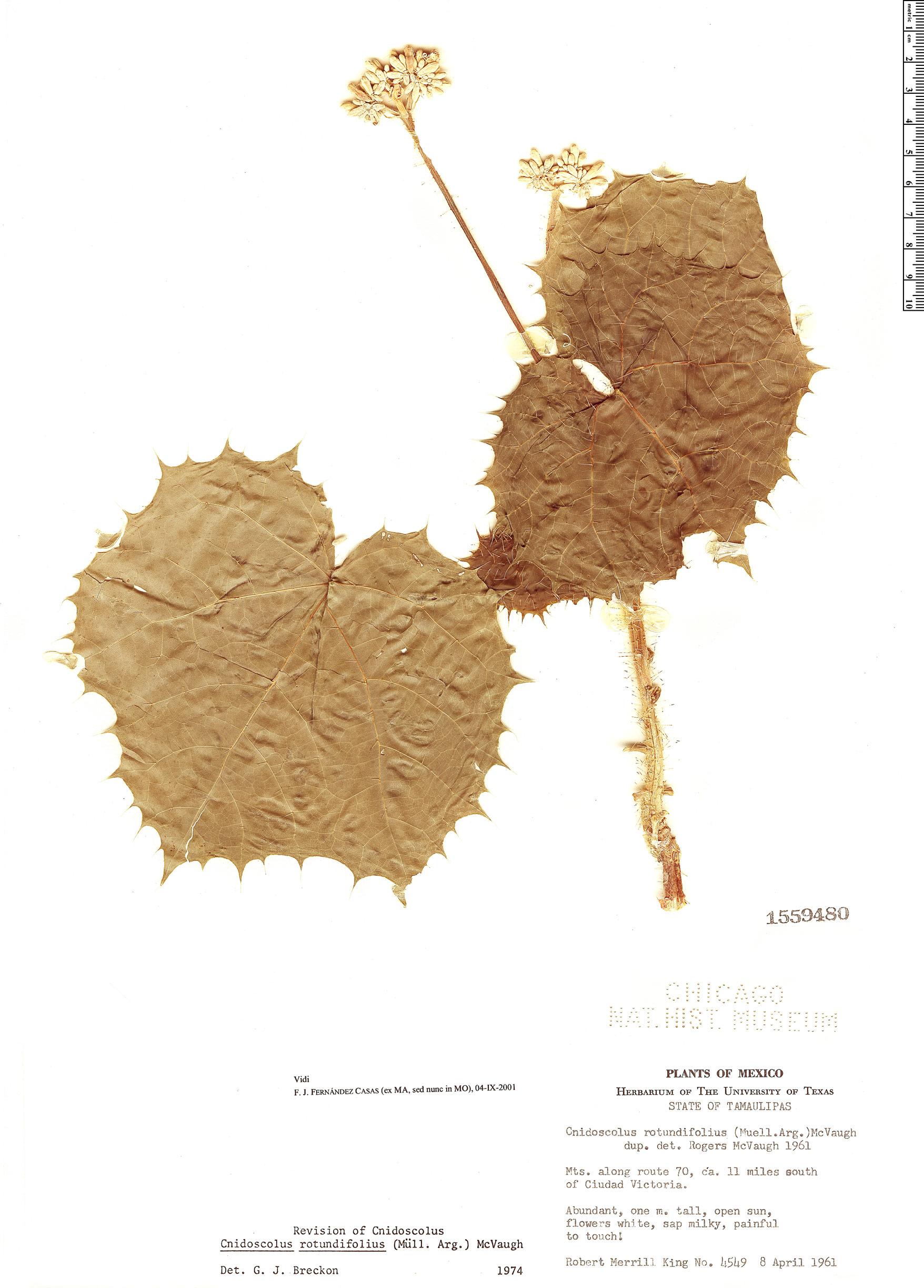 Specimen: Cnidoscolus rotundifolius