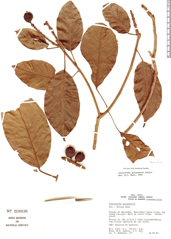 Specimen: Conceveiba guianensis