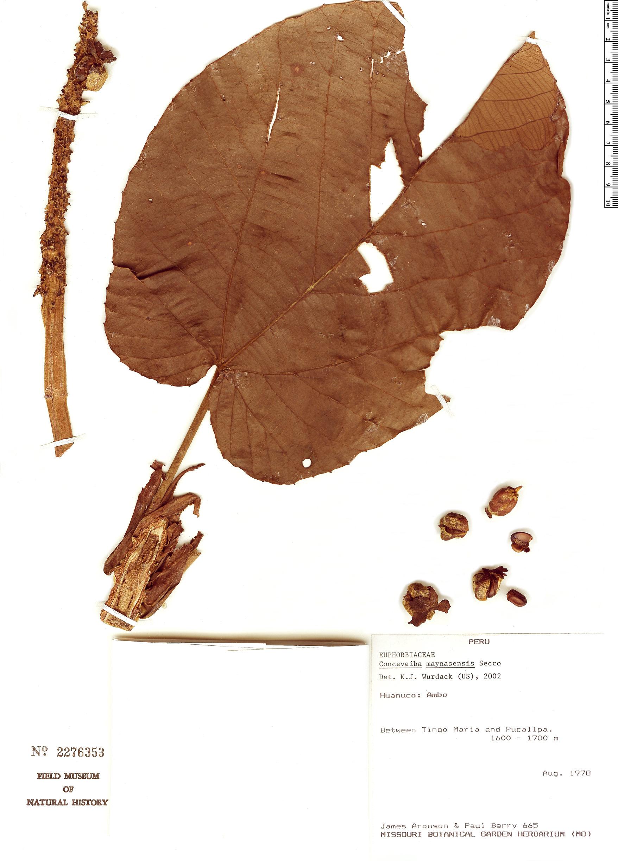 Specimen: Conceveiba maynasensis