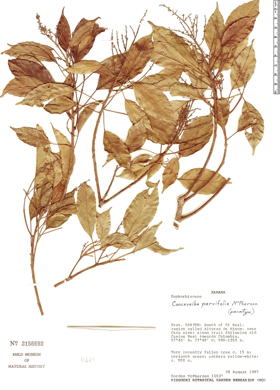 Specimen: Conceveiba parvifolia