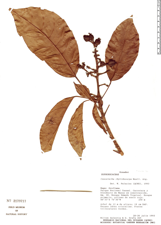 Espécime: Conceveiba rhytidocarpa