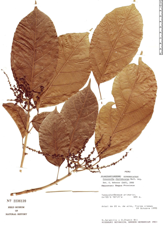 Specimen: Conceveiba rhytidocarpa