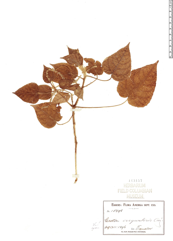 Specimen: Croton aequatoris