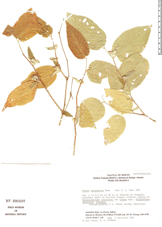 Specimen: Croton alamosanus