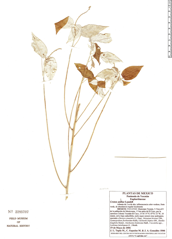 Specimen: Croton ameliae