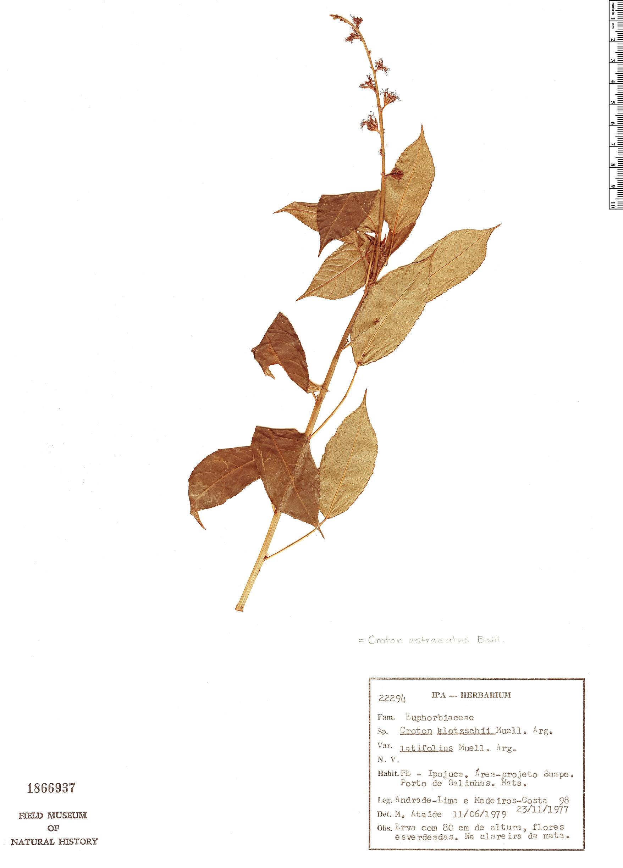 Specimen: Croton astraeatus