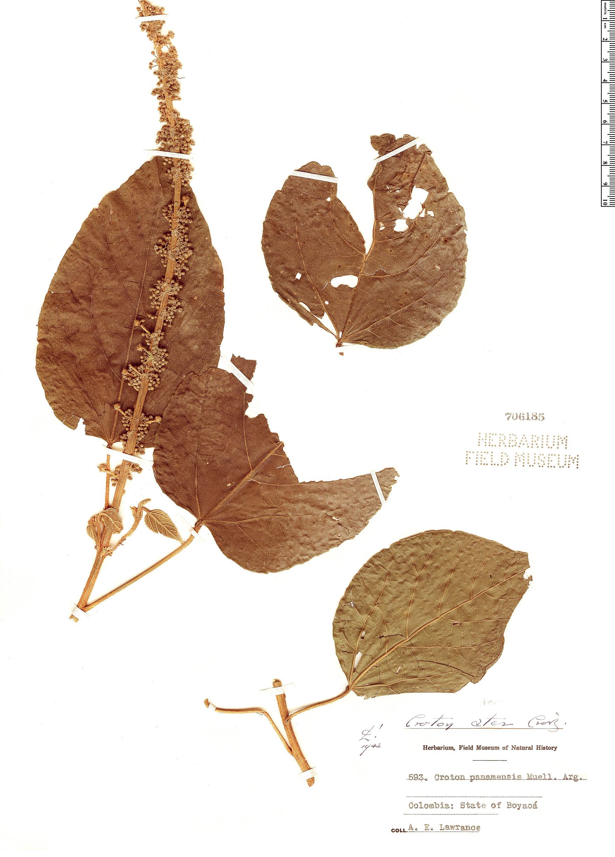 Specimen: Croton ater