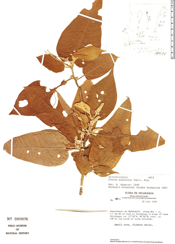Espécimen: Croton axillaris