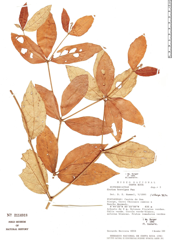 Specimen: Croton brevipes
