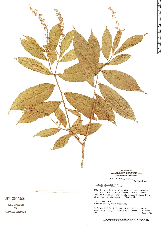 Specimen: Croton cajucara