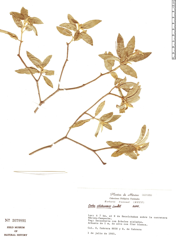 Specimen: Croton chichenensis
