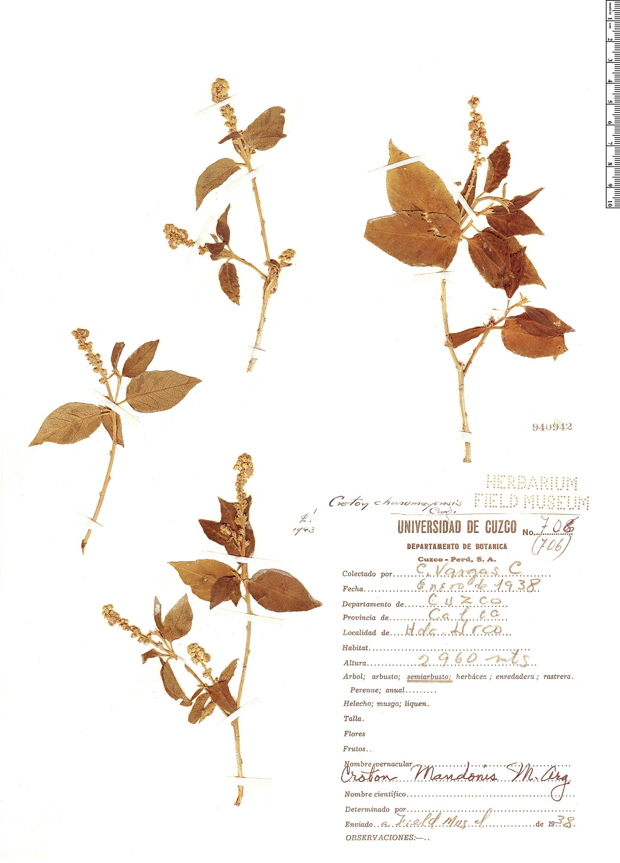 Specimen: Croton churumayensis
