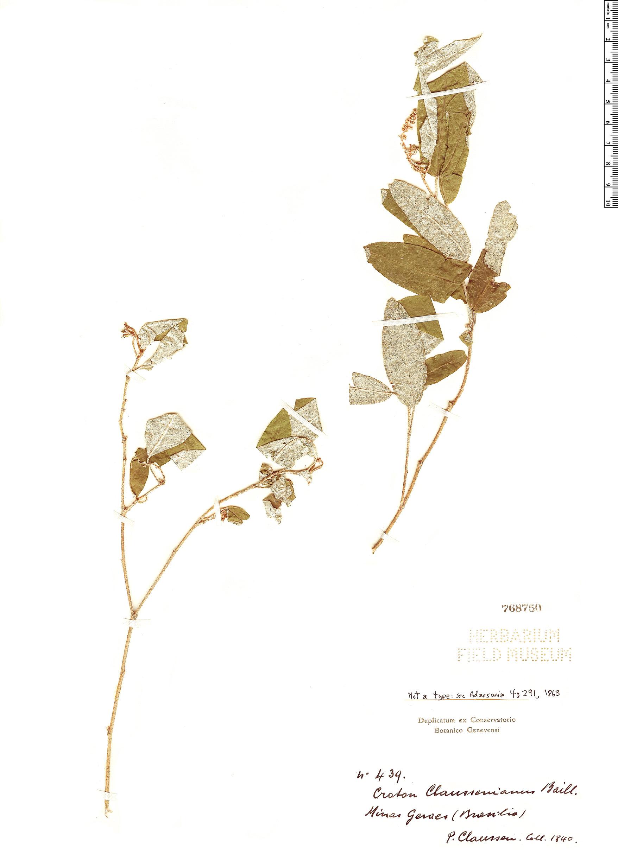 Specimen: Croton claussenianus