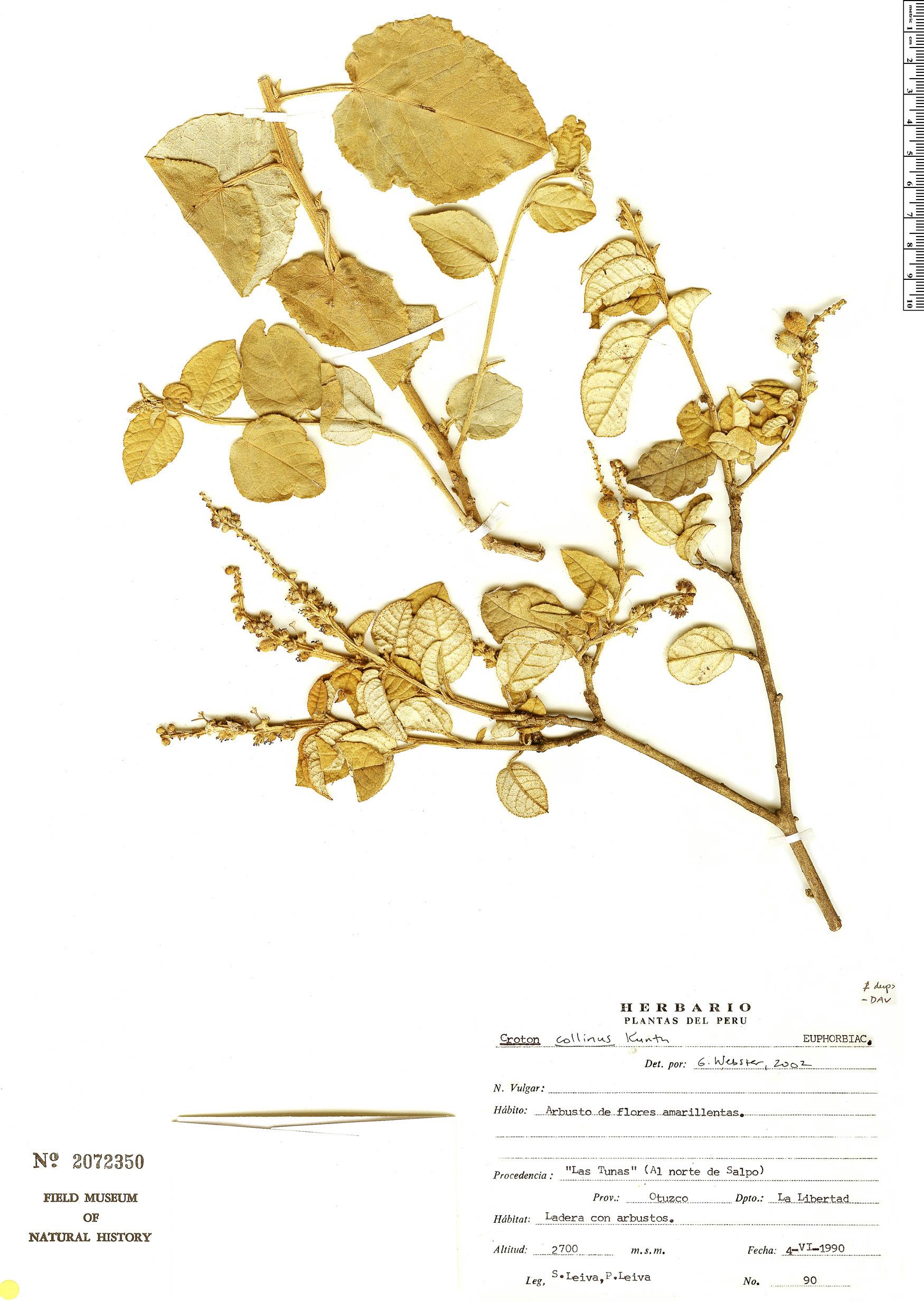 Specimen: Croton collinus