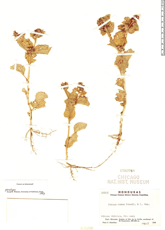 Specimen: Croton comes
