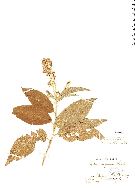 Specimen: Croton compressus