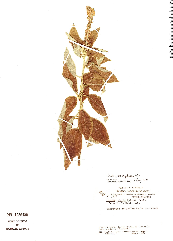 Specimen: Croton conduplicatus