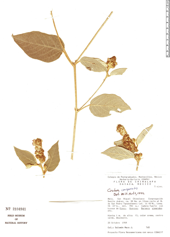 Specimen: Croton conspurcatus