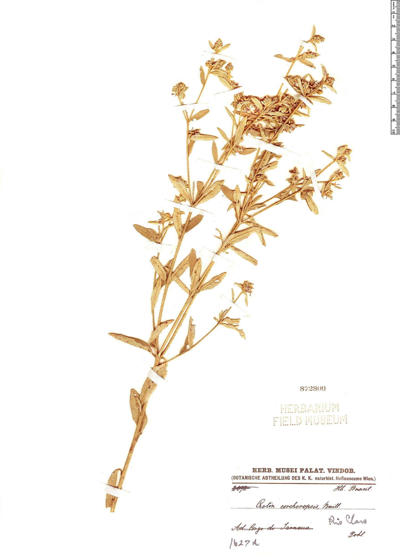 Specimen: Croton corchoropsis