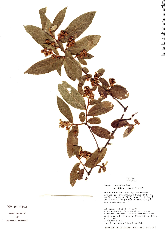 Specimen: Croton cordiifolius