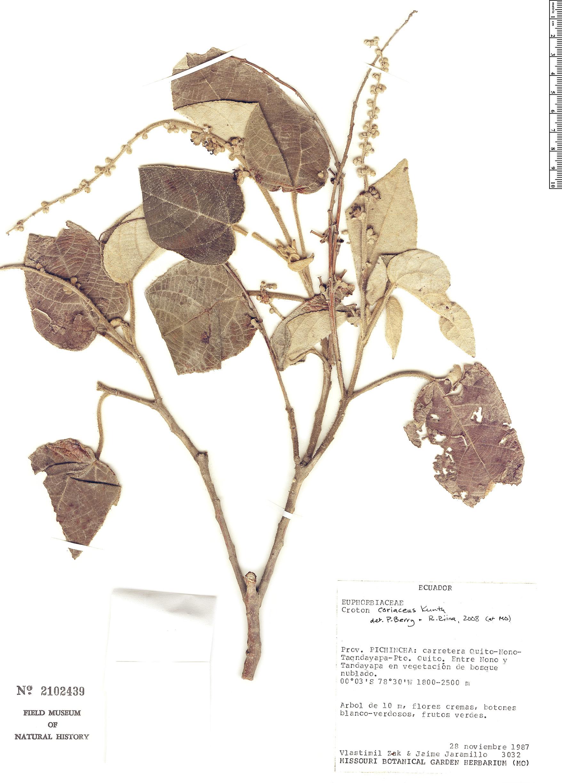 Specimen: Croton coriaceus