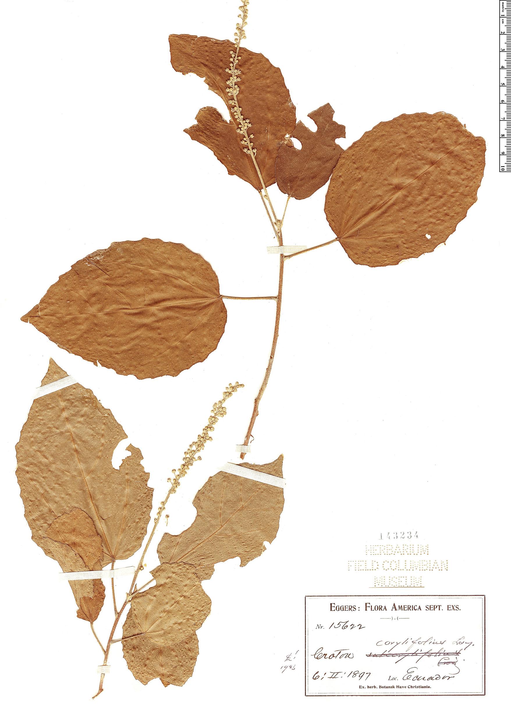 Specimen: Croton corylifolius