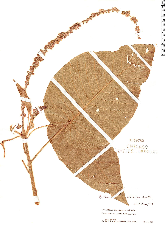 Specimen: Croton costatus