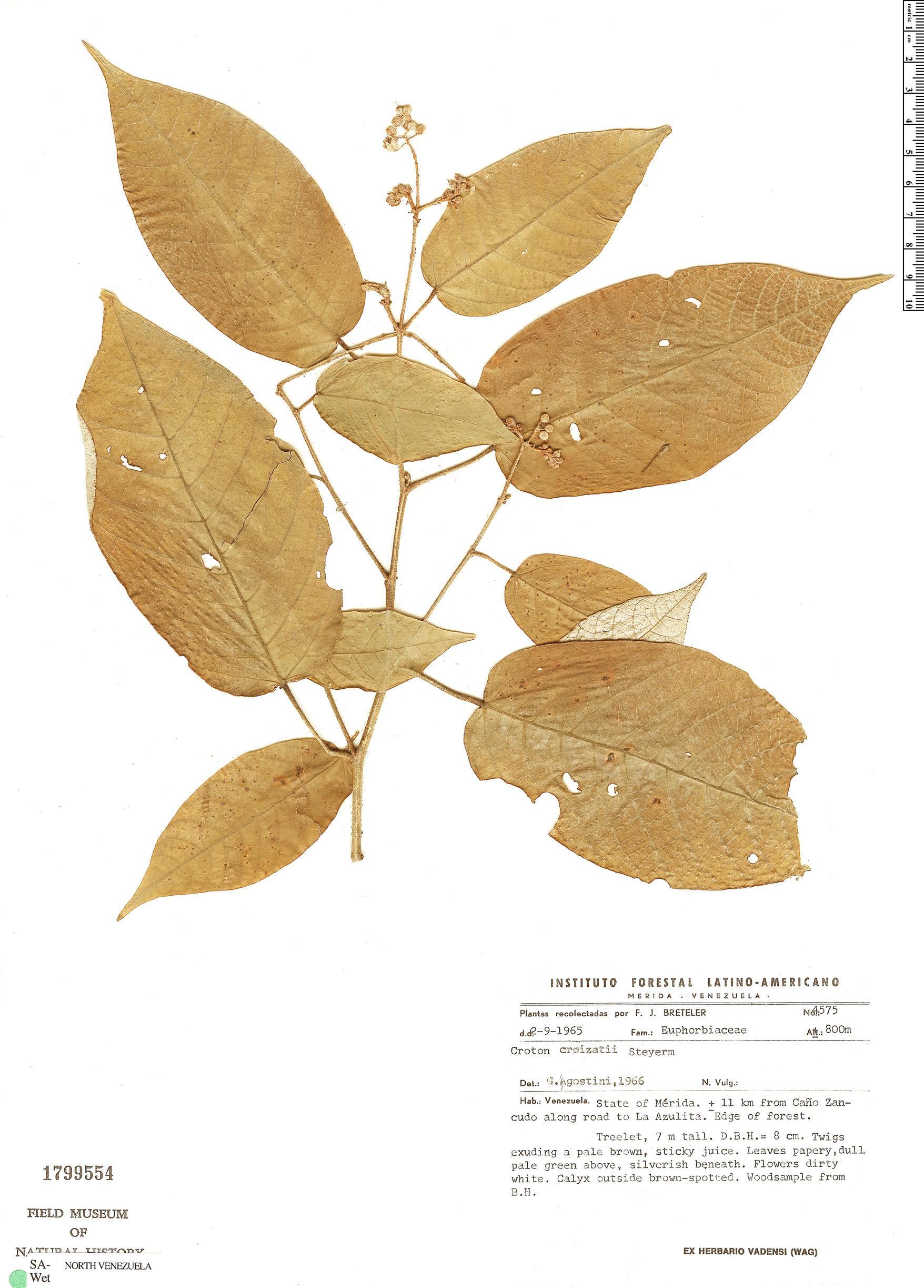 Specimen: Croton sexmetralis