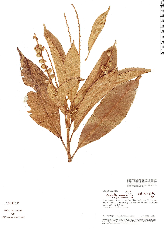 Specimen: Croton cuneatus