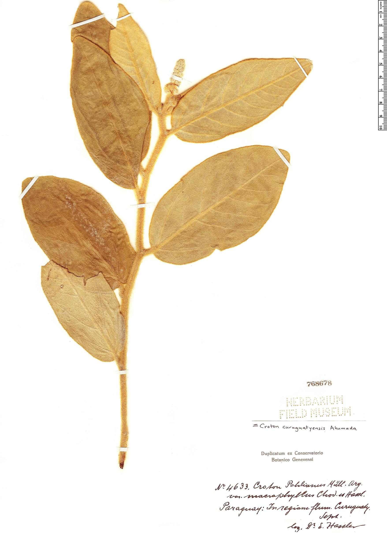 Specimen: Croton curuguatyensis