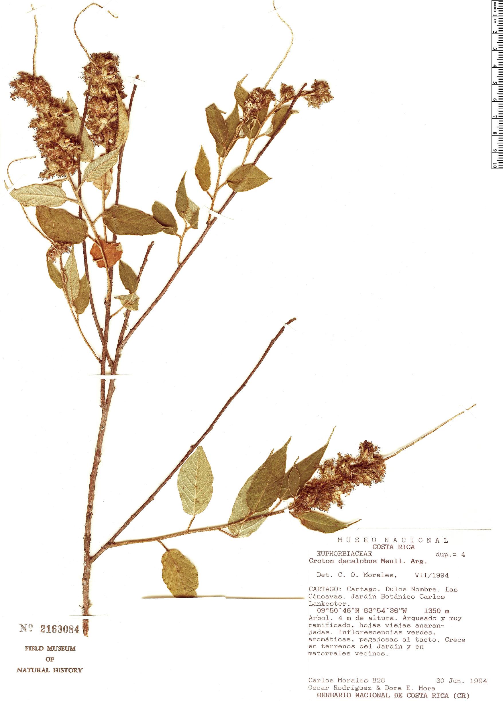 Specimen: Croton decalobus