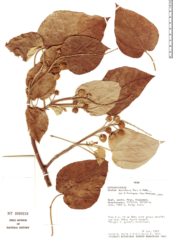 Specimen: Croton densiflorus