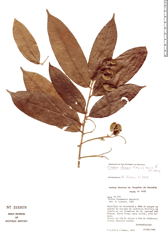 Specimen: Croton diasii