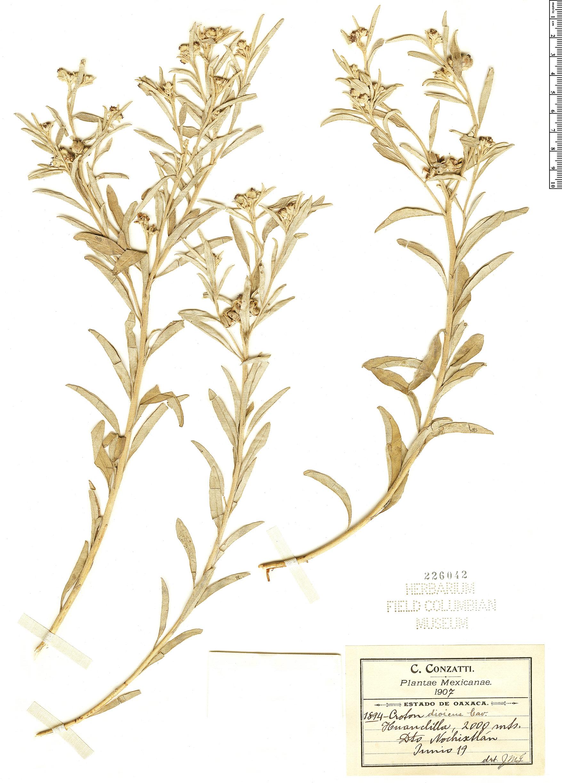 Espécimen: Croton dioicus