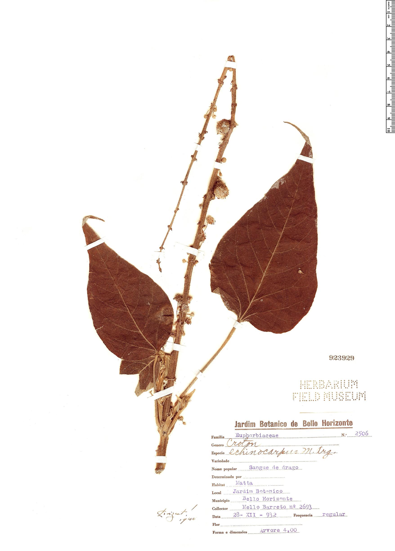 Specimen: Croton echinocarpus