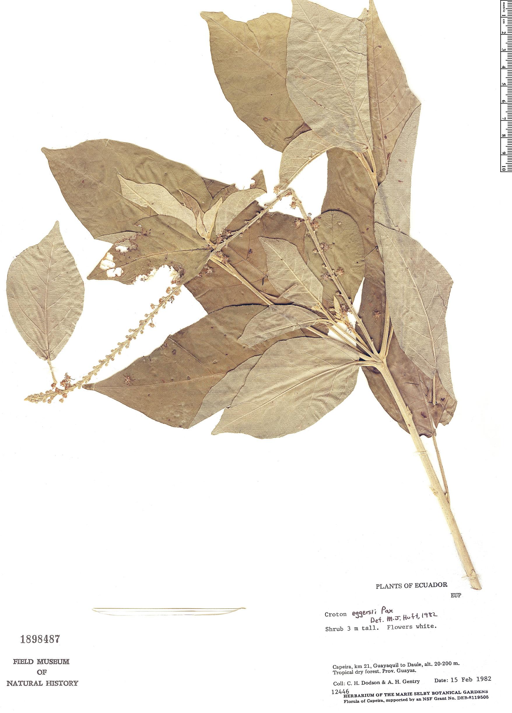 Specimen: Croton eggersii