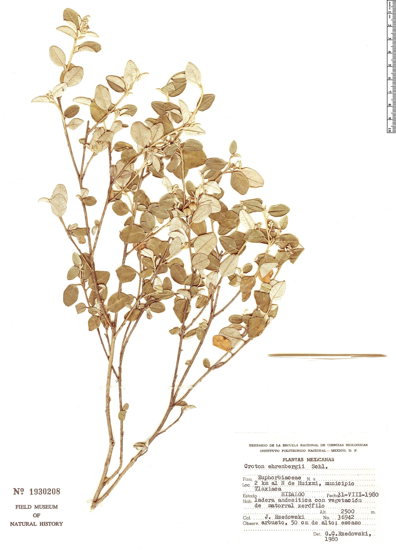 Specimen: Croton ehrenbergii