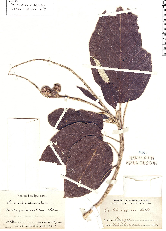Specimen: Croton eichleri