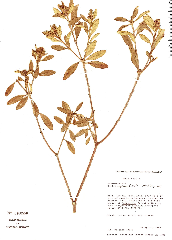 Specimen: Croton emporiorum